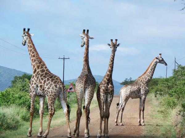 Thanda 4Giraffs